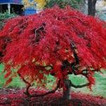 Acer palmatum en otño