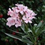 La adelfa es un arbusto que se adapta a una gran variedad de climas
