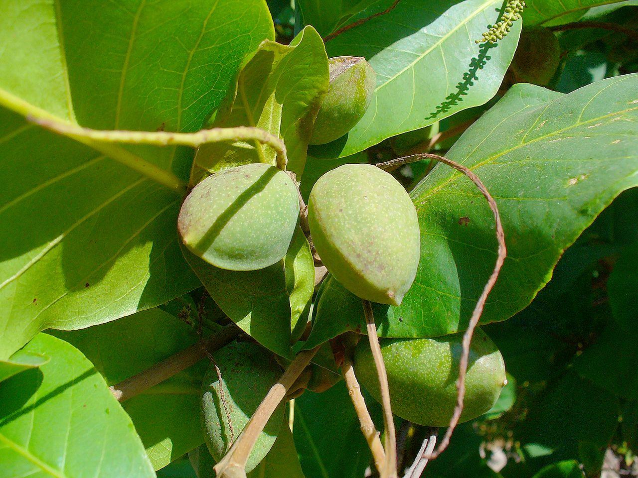 El almendro tropical produce frutos comestibles