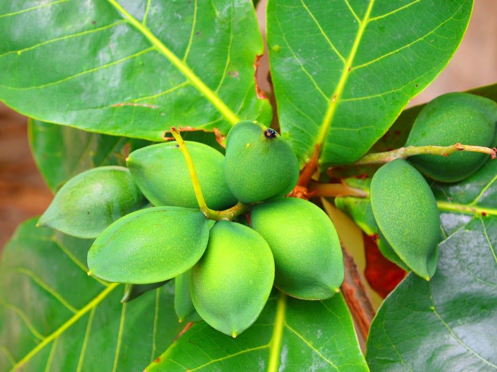 Ficha y cuidados del almendro tropical for Las caracteristicas de los arboles