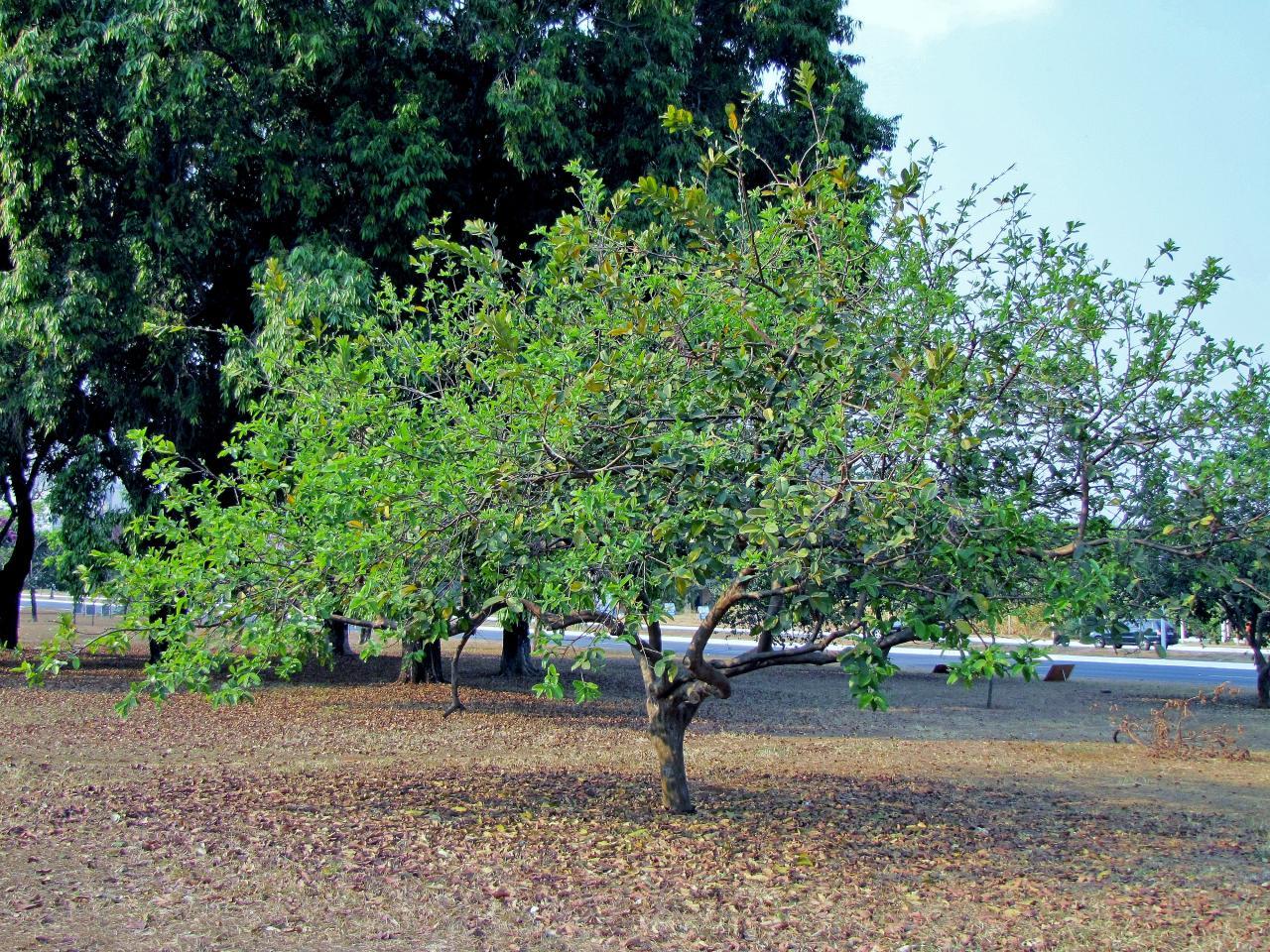 Vista del árbol de guayaba