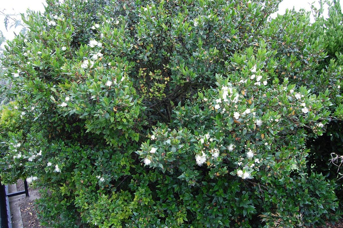 El mirto es una bonita planta de jardín