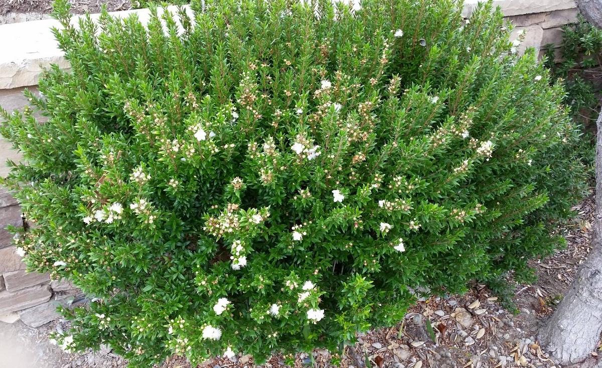 El mirto es un arbusto perenne