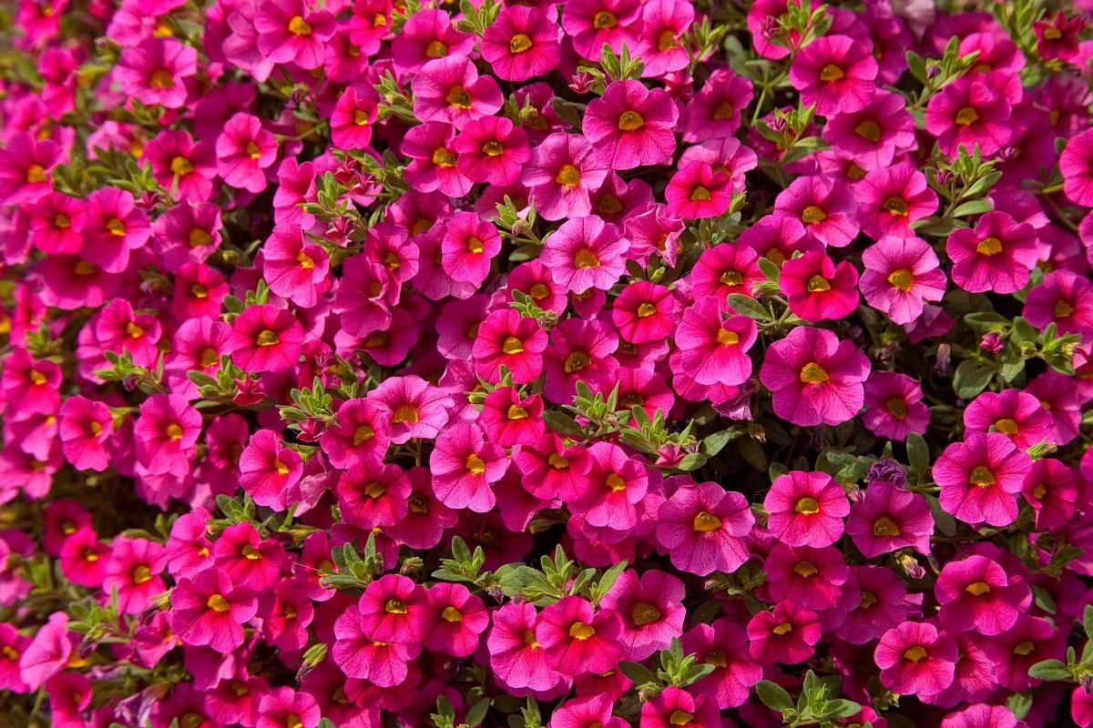 Las callibrachoa son plantas que producen numerosas flores