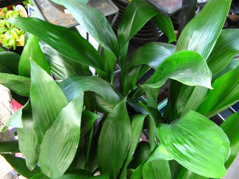 Vista de las hojas de Aspidistra