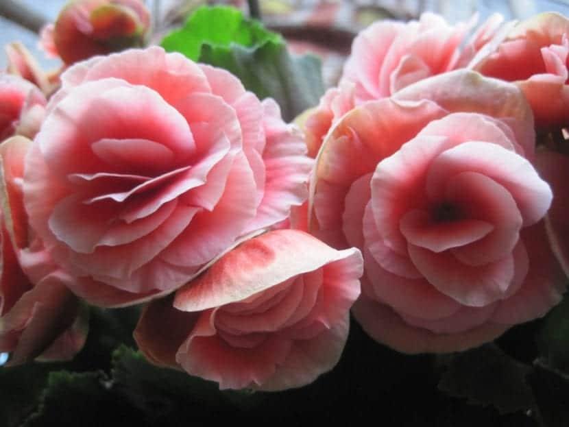 Las flores de algunas begonias son espectaculares