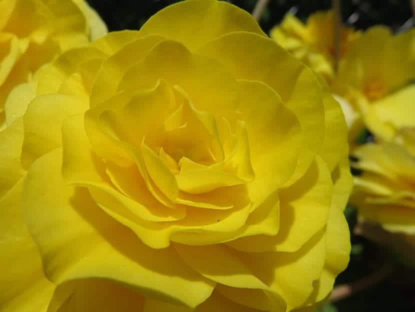 Vista de la flor de Begonia tuberosa