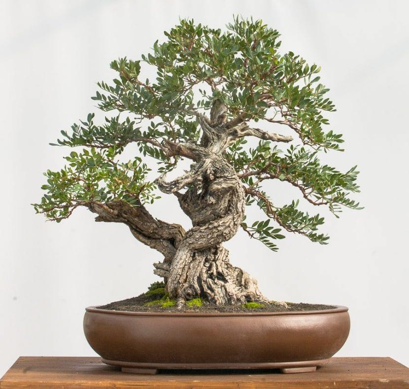 Si no tienes jardín, siempre puedes hacer de tu lentisco un bonsái