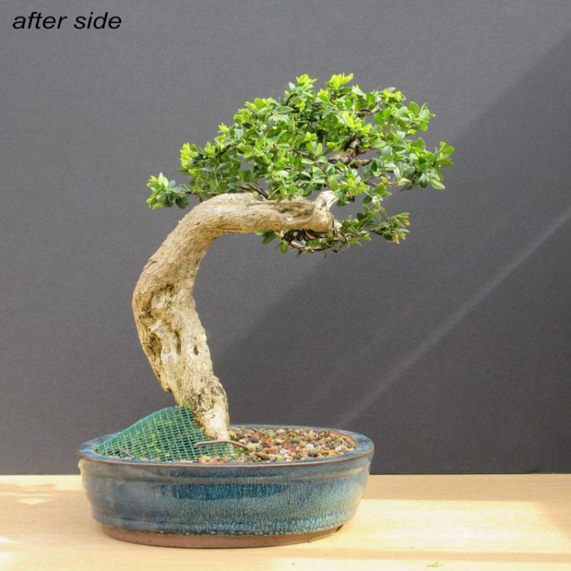 Bonsái de Buxus sempervirens