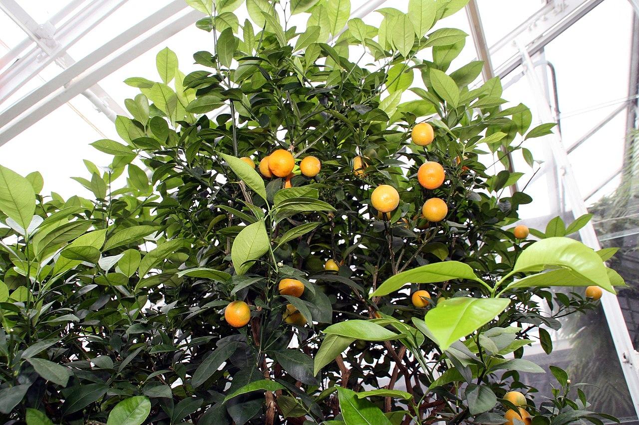 El calamondín es un arbusto