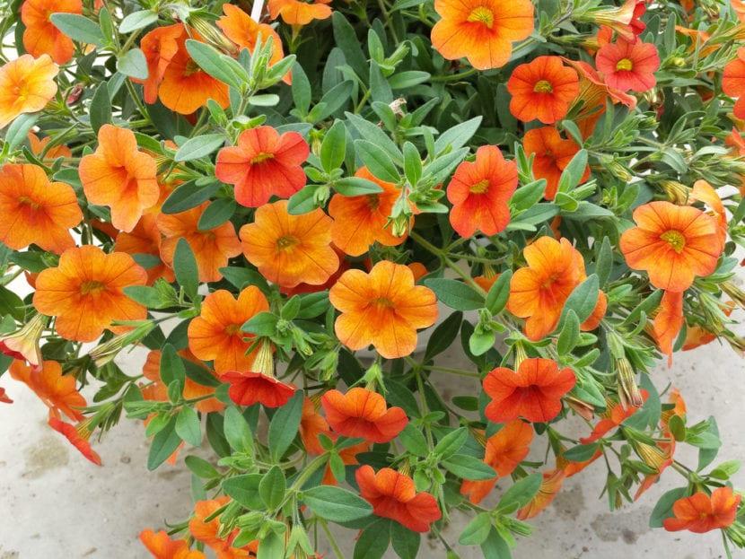 Calibrachoa de flor naranja