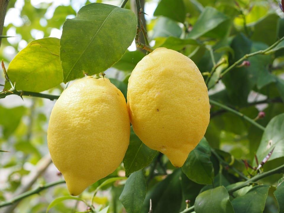 Citrus limon con frutos