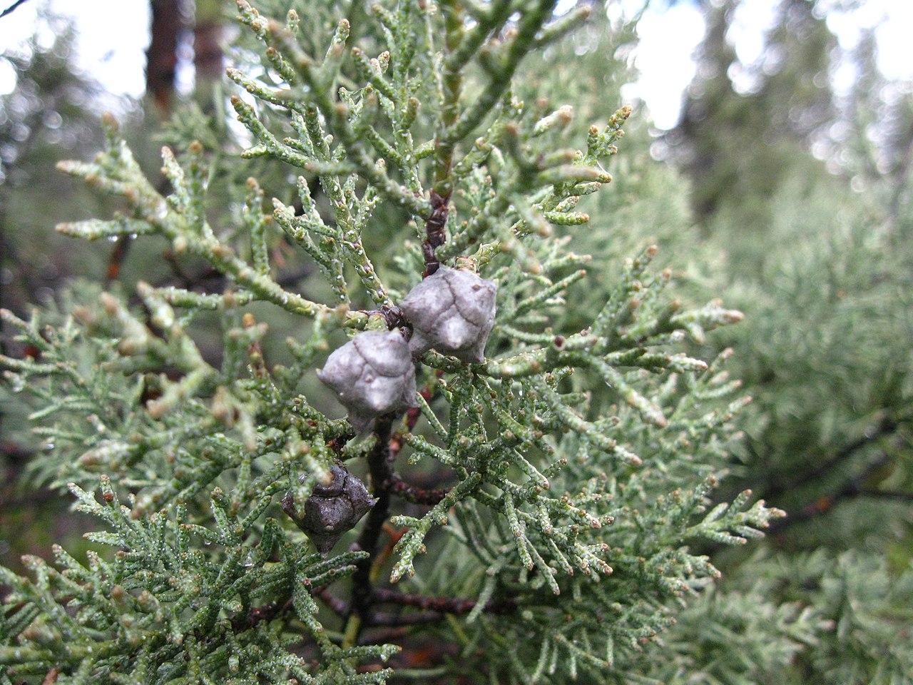 El Cupressus bakeri es una conífera perenne