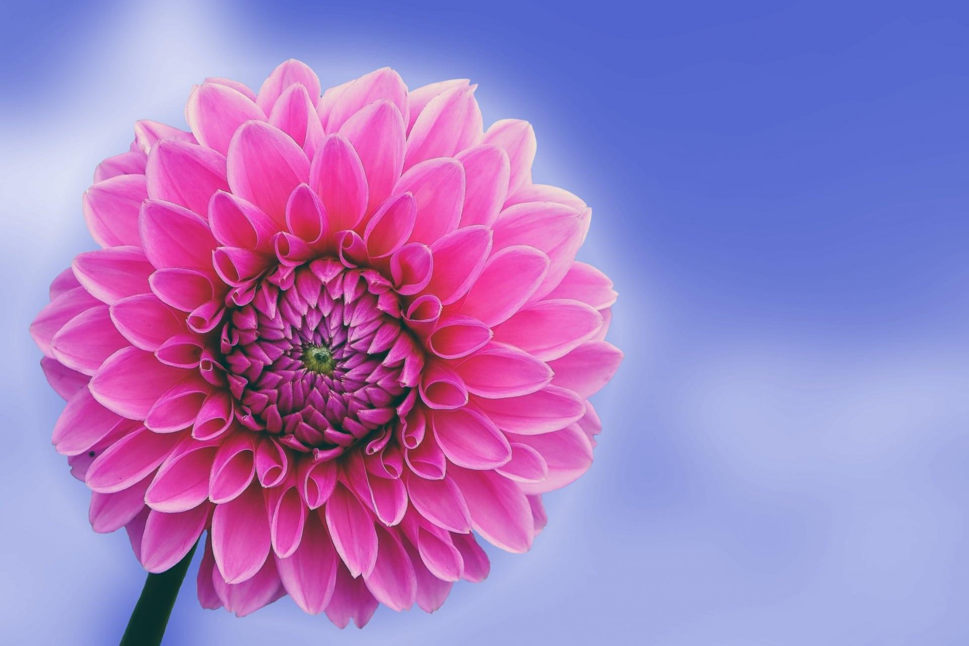 La dalia es una planta ornamental