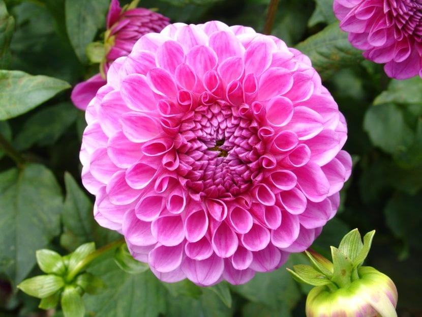 Dalia de color rosa