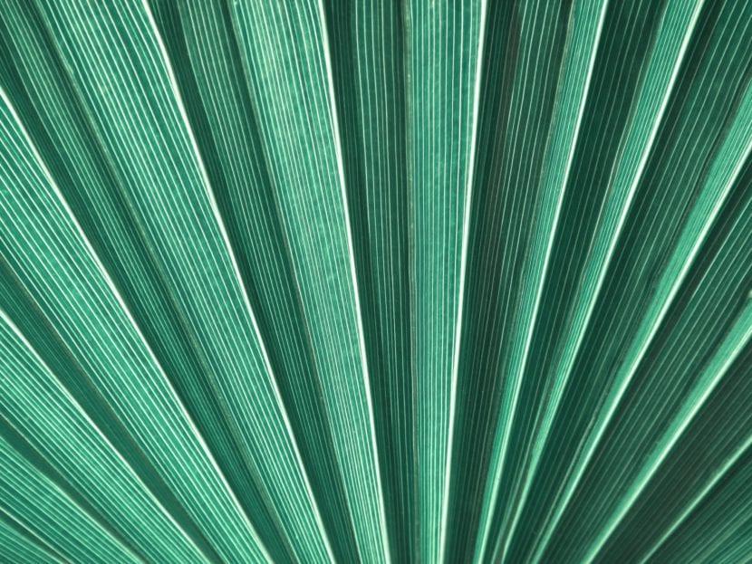 Detalle de Hoja de Livistona rotundifolia