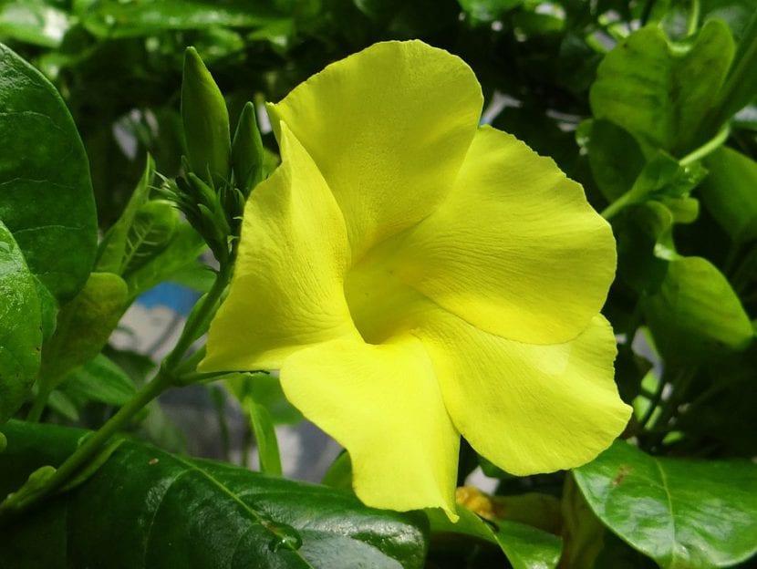 Dipladenia amarilla