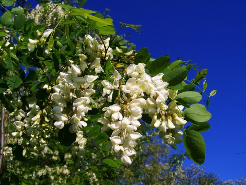 La Robinia pseudoacacia, el árbol de bellas flores