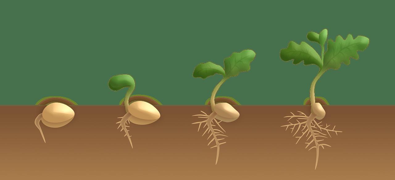 La germinación de semillas pasa por varias fases