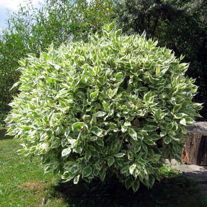 Se puede tener un ficus benjamina en el jard n for Jardin ficus quilpue
