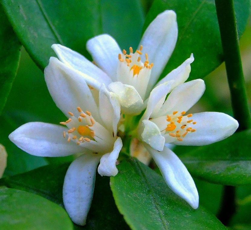 Flor de mandarina