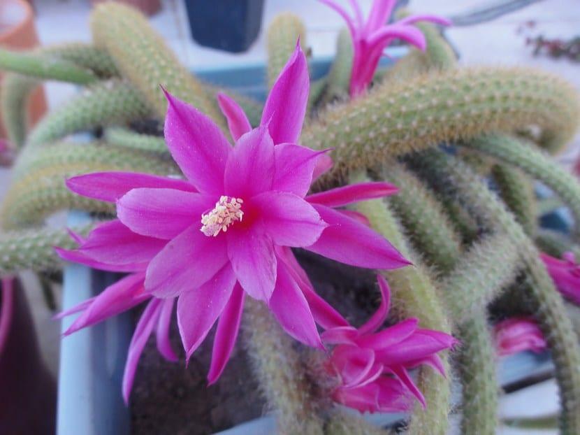 Flores Aporocactus