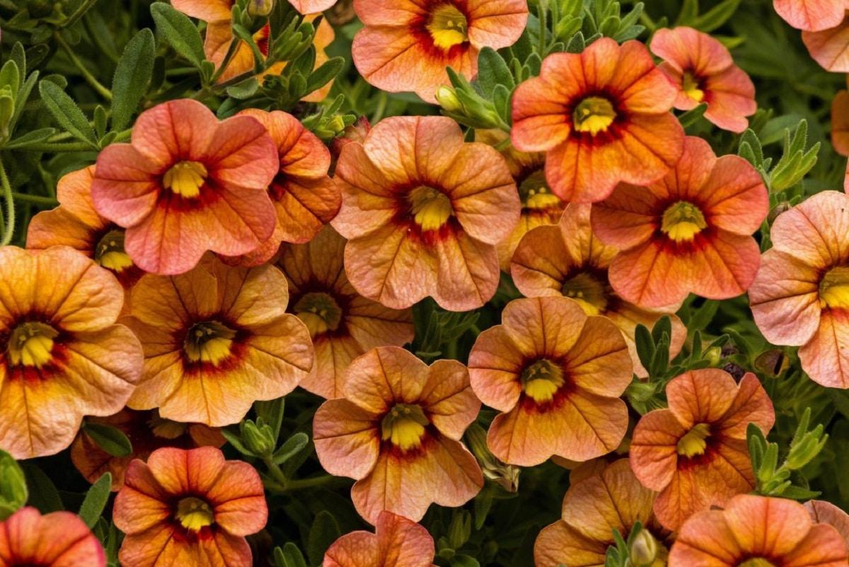 Las calibrachoa producen flores alegres