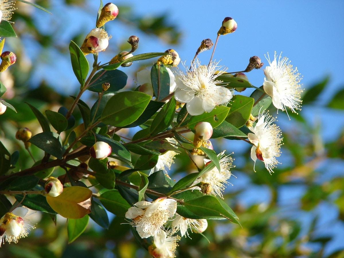 Las flores del mirto son blancas