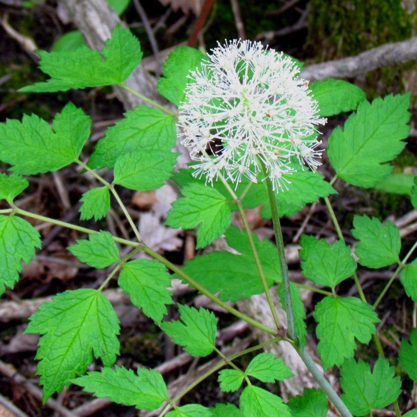 Flores de Actaea pachypoda