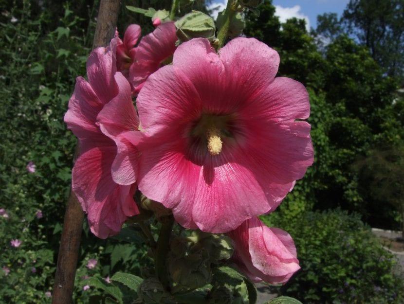 Flores Alcea