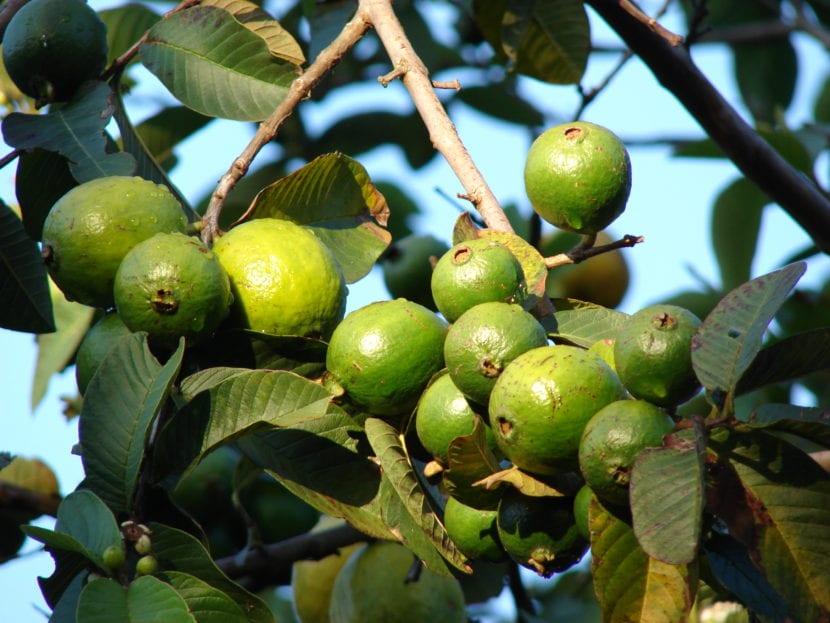 Frutos de Psidium guajava