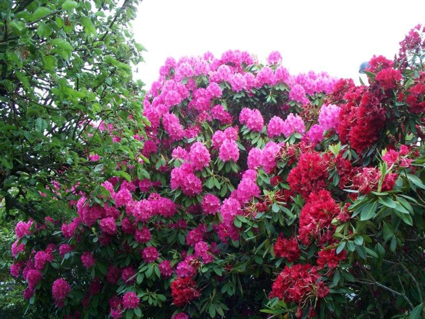 Grupo de rododendros