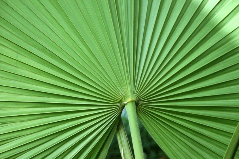 Hoja de Livistona rotundifolia