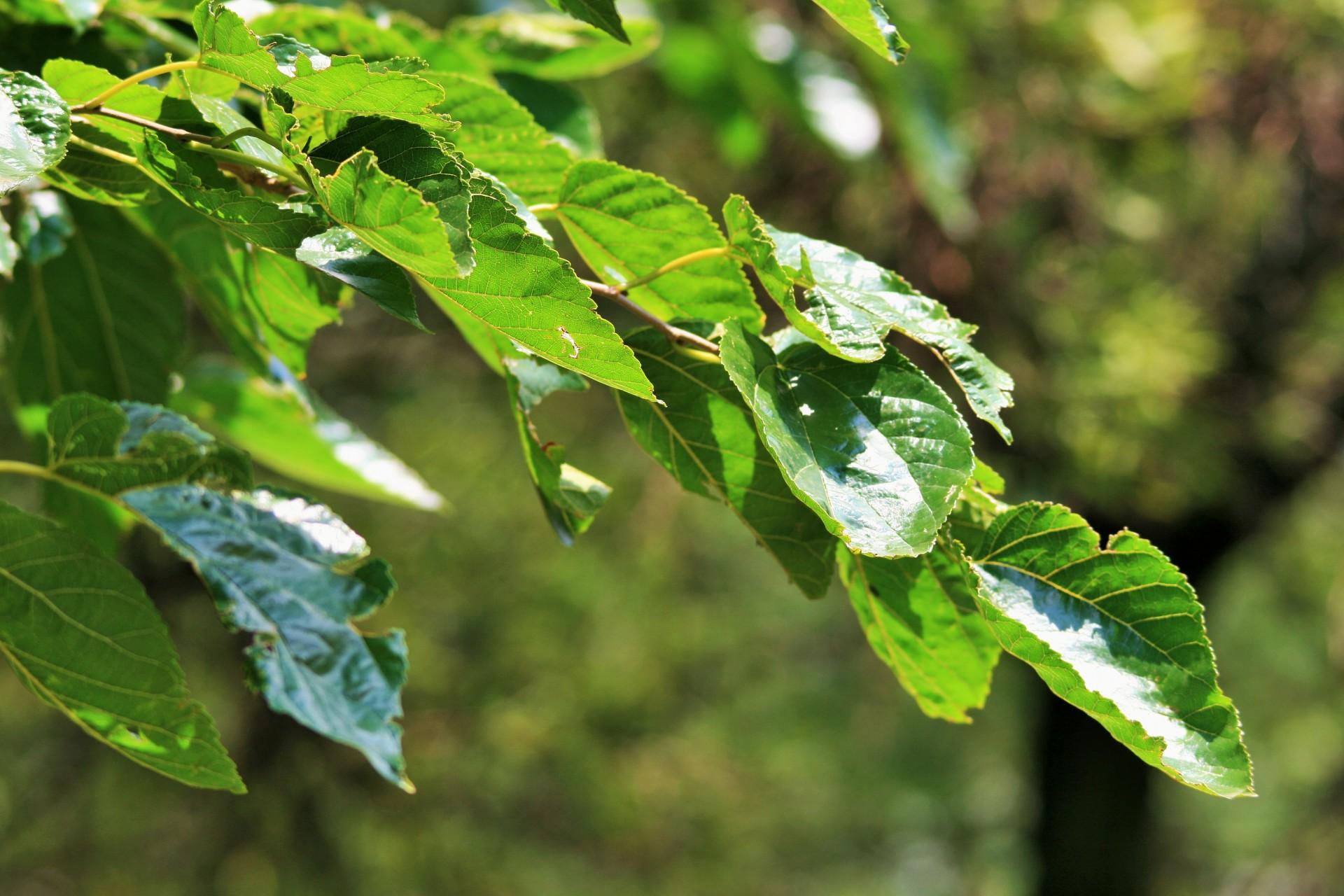 Las hojas de la morera son caducas