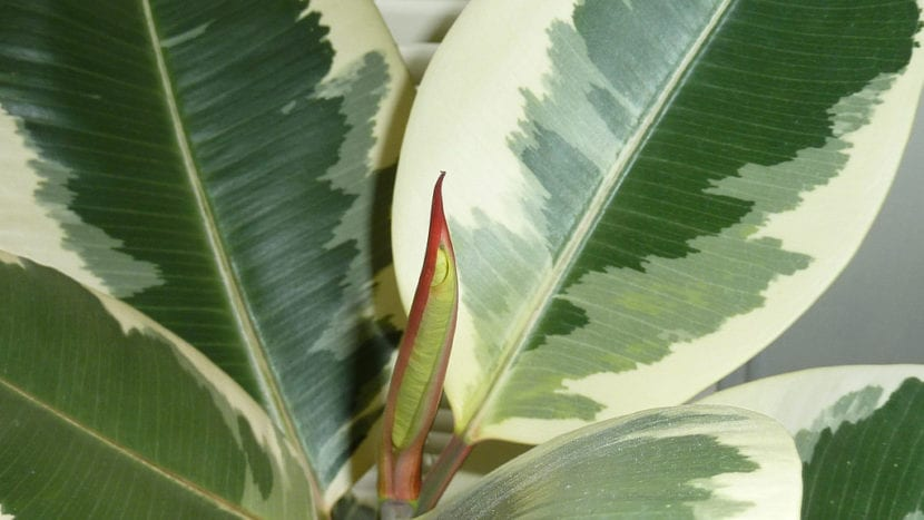 Hojas del Ficus elastica
