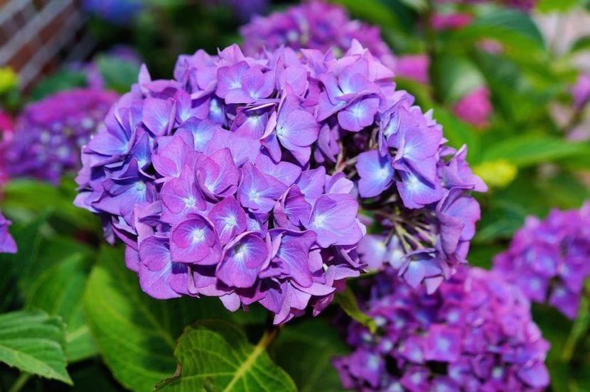 Hortensia de flor lila