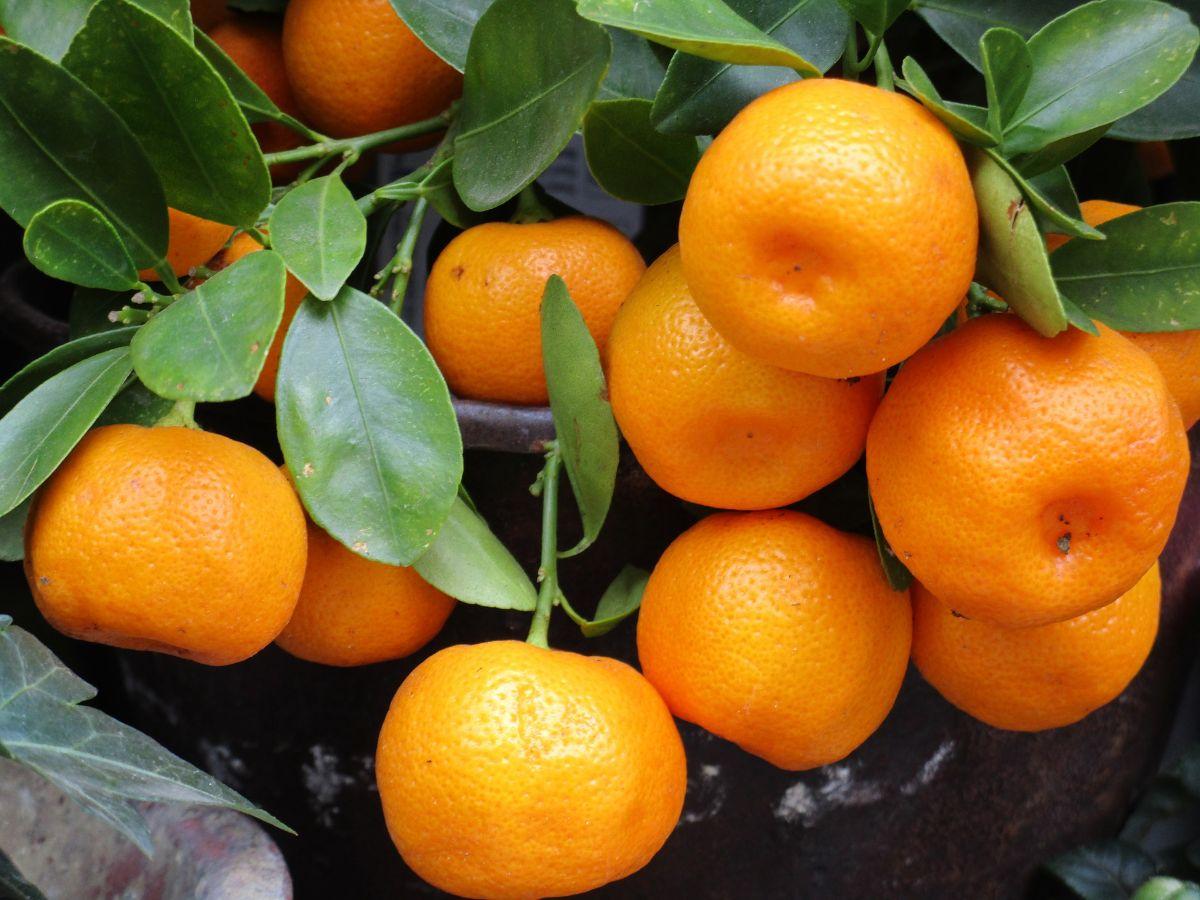 Características principales del árbol de mandarinas