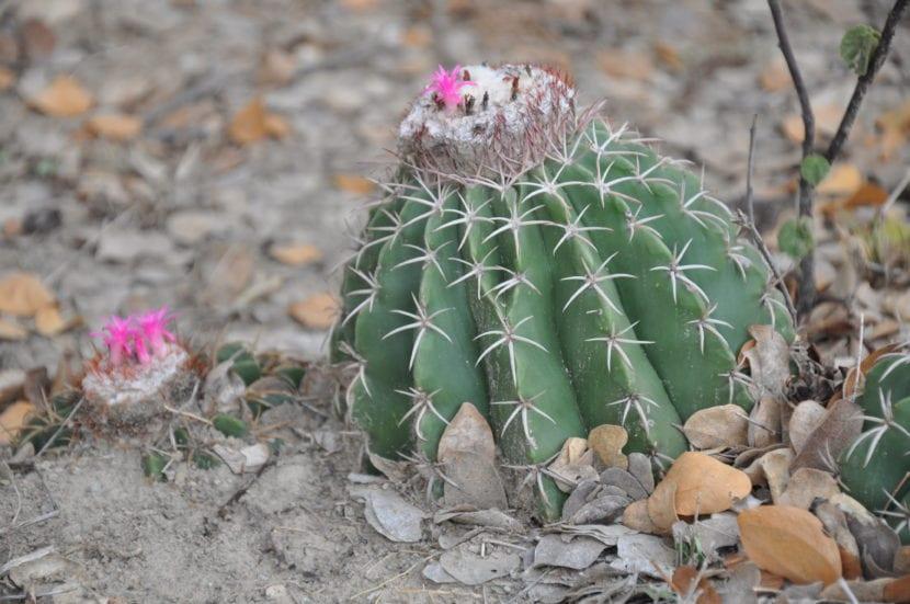 Cuidados del melocactus una planta muy curiosa for Cactus cuidados exterior