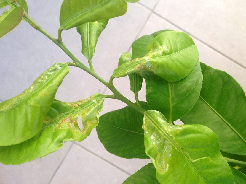 Minador, una de las enfermedades del limonero
