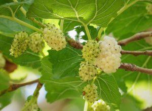 La morera blanca es un árbol de frutos blancos