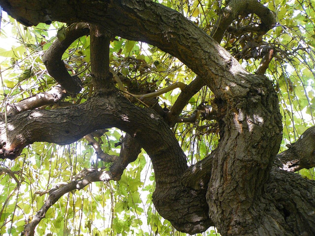 Vista del tronco de una morera