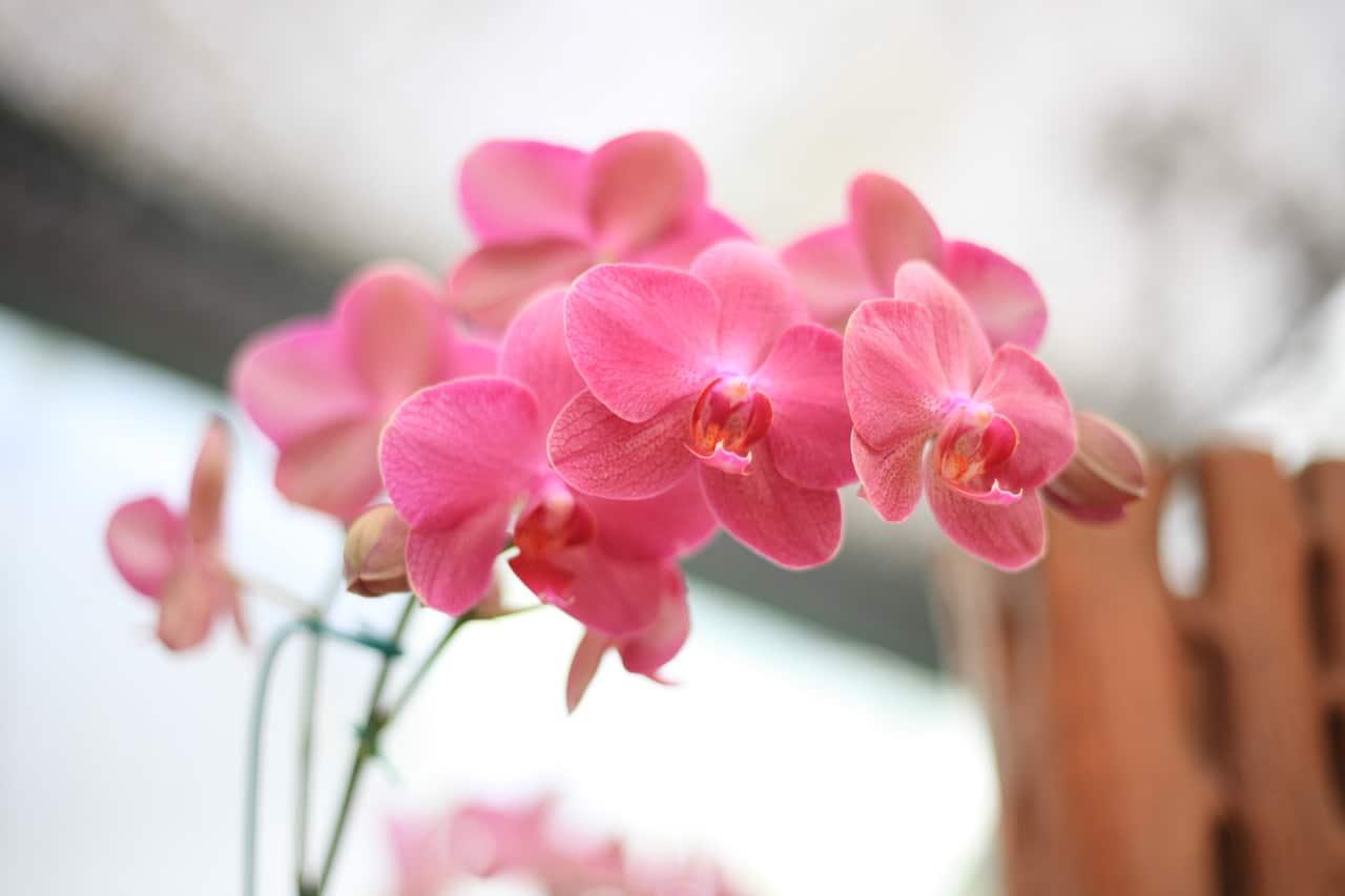 La orquídea puede cultivarse en bolas de arcilla