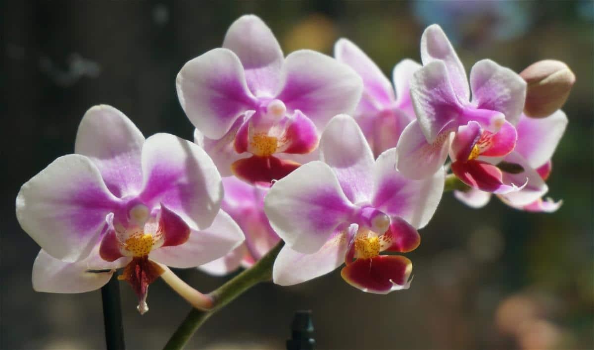 Las Phalaenopsis son orquídeas que florecen en primavera