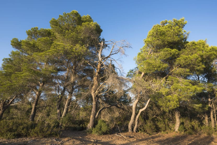 Vista de los Pinus halepensis