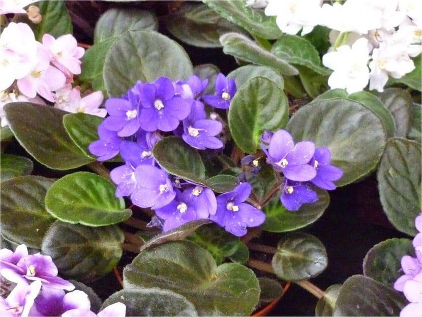 Planta Violeta africana