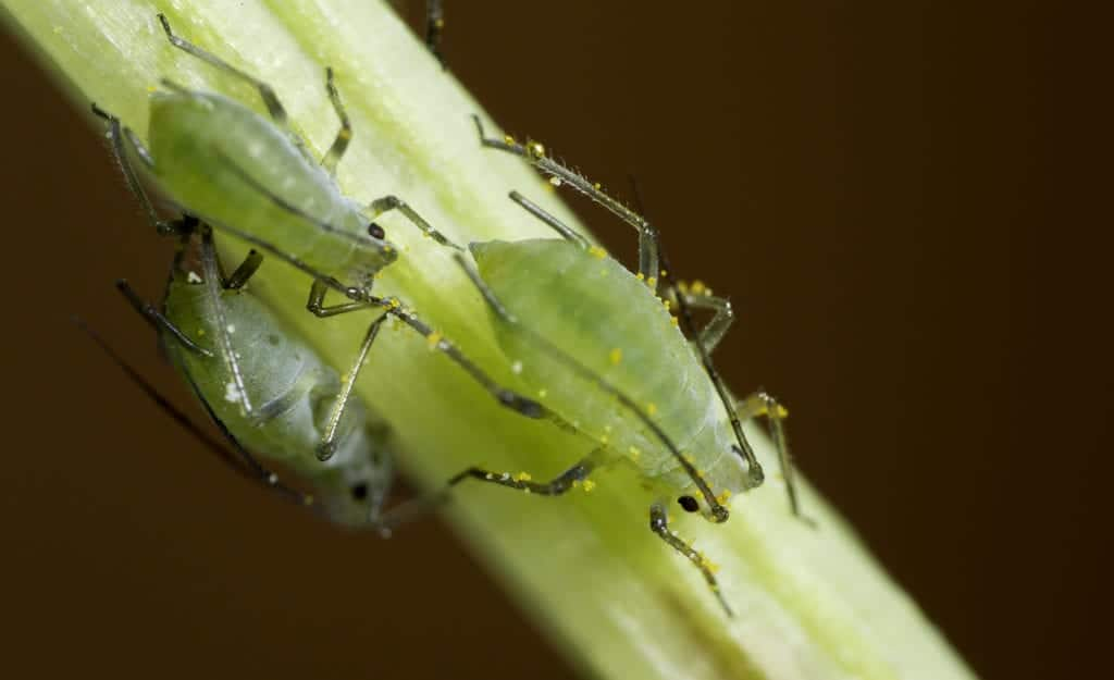 Pulgones verdes, unas de las plagas que puede tener las plantas