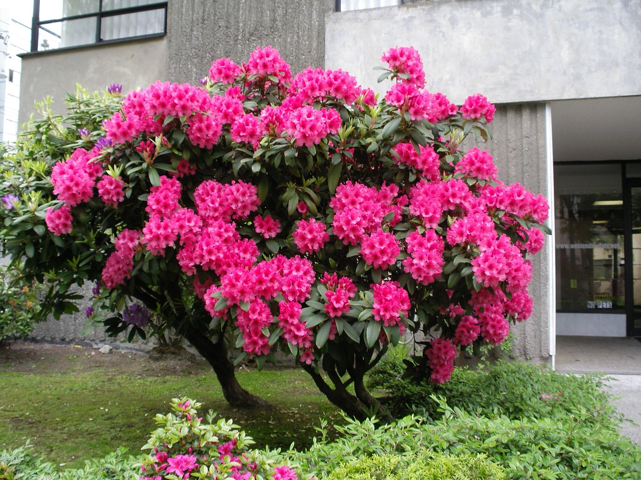 El Rhododendron es un arbusto de flores preciosas