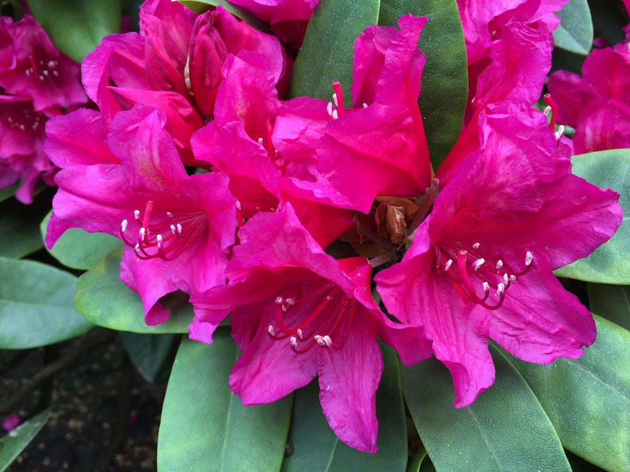 Las flores del Rhododendron son medianas