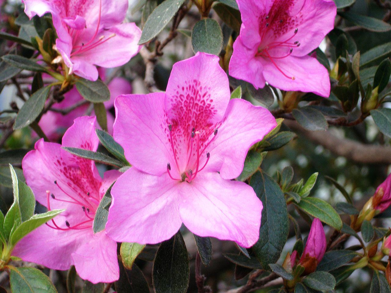El Rhododendron simsii es un arbusto de flores de diversos colores
