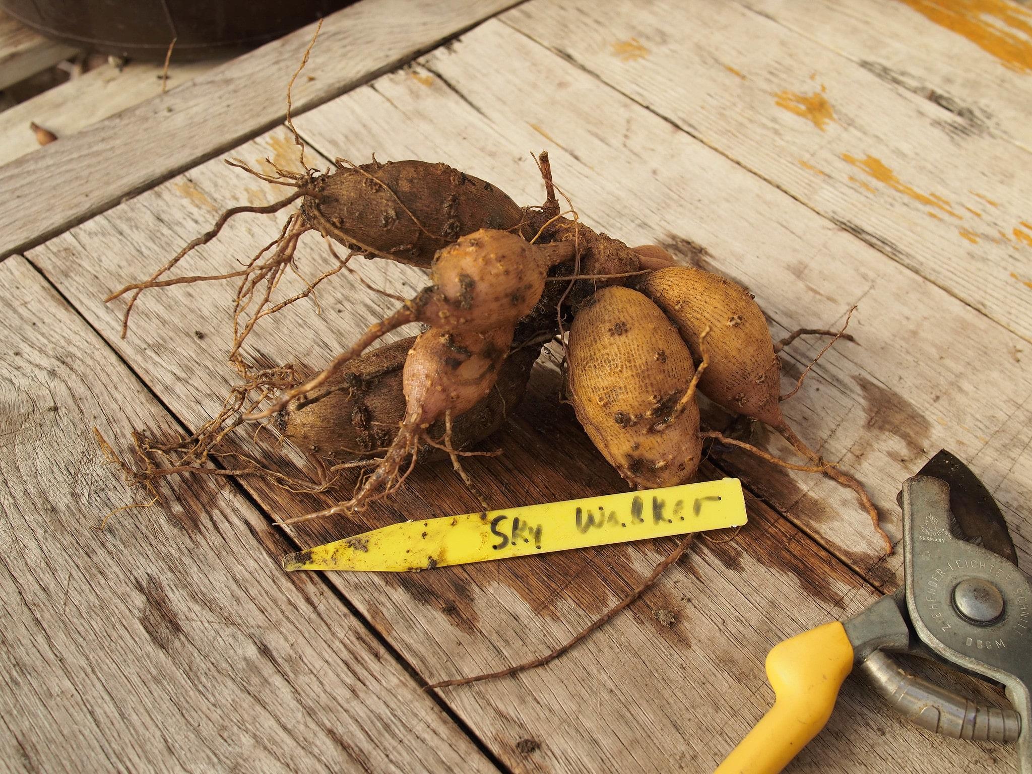 El rizoma de dalia se planta hacia arriba